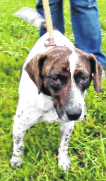 This week's Highland County Dog Pound Pet of the Week is Lady, a young, mixed-breed sweetheart. Lady is very affectionate and well-mannered. Lady is a volunteer favorite. She walks well on a leash and gets along with everyone. The Friends of the Highland County Dog Pound estimate that Lady is between 2 and 3 years old. She weighs approximately 30 pounds. To meet Lady or any of the dogs at the Highland County Dog Pound, call the dog warden at 937-393-8191 to make an appointment. The Highland County Dog Pound is located at 9357 SR 124 east of Hillsboro.