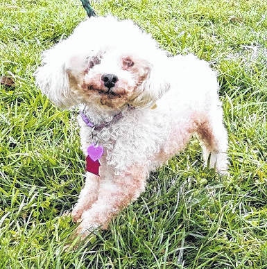 This week's Highland County Dog Pound Pet of the Week is Katie is a petite poodle or poodle mix. Katie has had some very sad times in her life and would welcome a little TLC. She is about 8 years old and weighs less than 10 pounds. Sweet and friendly despite her past, she only eats lunch meat and seems completely unfamiliar with the concept of dog food. With a little care, patience and grooming, Katie would be a wonderful pet for someone who enjoys quiet living. To meet Katie or any of the other good dogs at the Highland County Dog Pound, call the dog warden at 937-393-8191 to make an appointment. The Highland County Dog Pound is located at 9357 SR 124 east of Hillsboro.