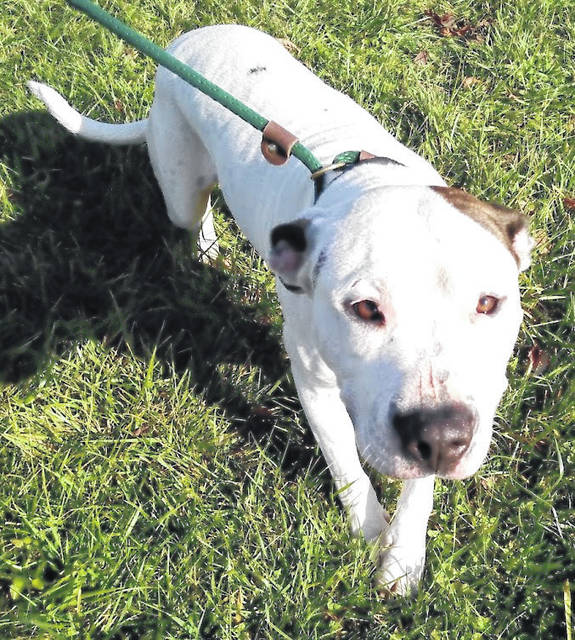 "This week's Highland County Dog Pound Pet of the Week is Zeke, a mixed breed fella. Zeke is part sugar, part spice, and 100 percent belly-rub enthusiast. He loves walks and even jumps with excitement when he sees a leash. He knows ""sit"", and is learning ""stay"" and ""no."" Still a bit shy, Zeke rolls over for belly rubs any time they're offered. He does have a habit of chasing cats. All he really needs is affection and a bit of training. Zeke is 1-2 years old and weighs 38 pounds. He is neutered. To meet Zeke or any of the dogs at the Highland County Dog Pound, call the dog warden at 937-393-8191 to make an appointment. The Highland County Dog Pound is located at 9357 SR 124 east of Hillsboro."