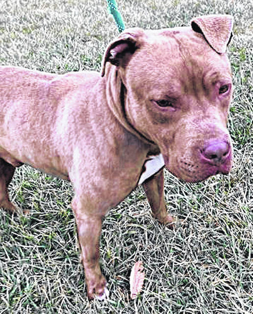 This is Beau, a young, tan, mixed breed guy with good manners. He is a muscular 65 pounds and 2 to 3 years old. Beau might look tough but he isn't. Found as a stray, he was happy to nap on the porch with the rescuer's other dogs, is comfortable with strangers, fine on a leash, and clearly has had some training in deportment. He sits and shakes hands on request. To meet Beau, make an appointment with the Highland County Dog Warden by calling 937-393-8191.