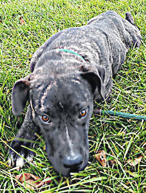 This is Lola the lolli-pup, super sweet, super shy and about 6 months old. Her mother was reportedly a coon hound, while dad was a handsome stranger. Lola is a winsome 42 pounds, dark brindle with splashes of white on her chest and feet. She is very cautious and takes a few minutes to make friends, but is irresistible when she does. To meet lovable Lola, make an appointment with the Highland County Dog Warden by calling 937-393-8191.