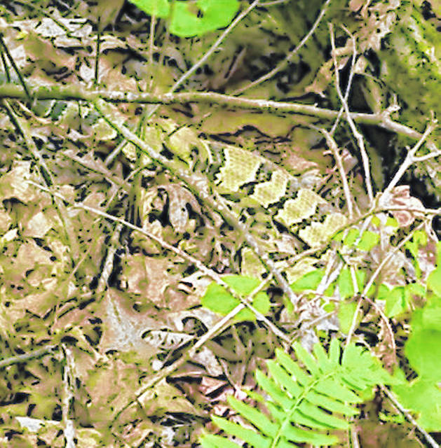 A timber rattlesnake can be partially seen slithering across the ground in this photograph.