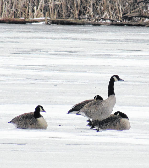 The ice was thick enough to support these Canadian Geese at Rocky Fork Lake State Park on Thursday afternoon, but natural resources officer Adam Somerville warned it may not have enough thickness to support a person who intends to ice fish.