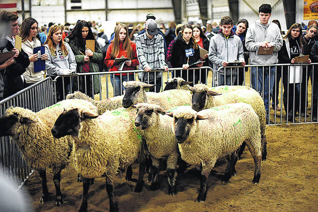 Students judge sheep during last year's WC Aggies Livestock Judging Contest. This year's contest will be online and is open to high school students across the nation.