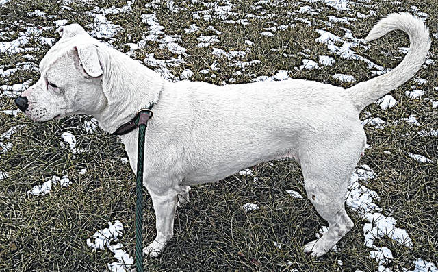 This is Little Girl, an owner surrendered, snow-white sweetheart with pink ears and a pink nose. Little Girl is young, 1-2 years old, and about 40 pounds. She's always excited to have company, loves to be petted and really enjoys her walks. To meet Little Girl, call the Highland County Dog Pound at 937-393-8191 and make an appointment.