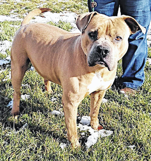 This is Dozer, short and stout, like a teapot, or a toy truck. He is the Highland County Dog Pound Pet of the Week. Dozer is a happy, mixed breed dog, about 8 years old and 75 pounds, who just wants to find a friend and have fun. He likes treats, walks, interesting conversations and is a good listener. To meet Dozer, make an appointment with the dog warden by calling 937-393-8191.
