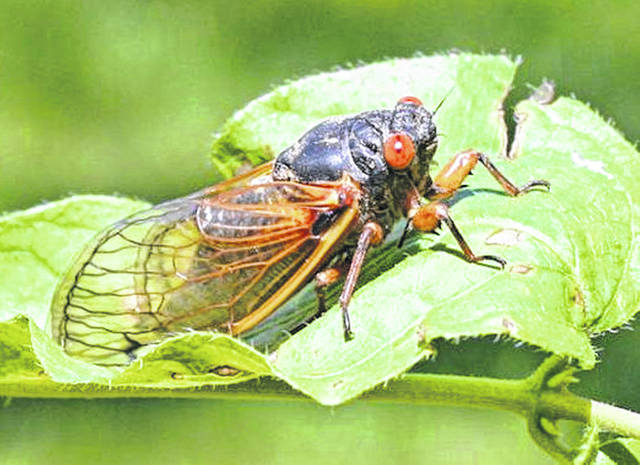 Cicadas like this one are expected to hatch this year from Georgia to New York and as far west as the Mississippi River.
