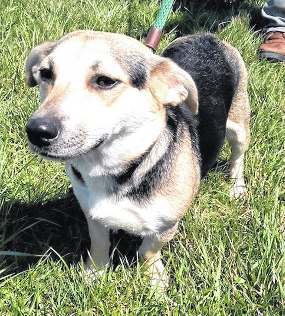 This short, sweet girl is Trudy, the Highland County Dog Pound Pet of the Week. Only about 1 year old and 20 pounds, Trudy recently had puppies, but she was found wandering alone near Keplinger Road. Despite an unknown family tree, she is quite possibly a pure-bred couch potato and gives every indication of being a sweet-natured, congenial playmate who would be happy to curl up and snuggle. To meet Trudy, call the Highland County Dog Pound at 937-393-8191 for an appointment.