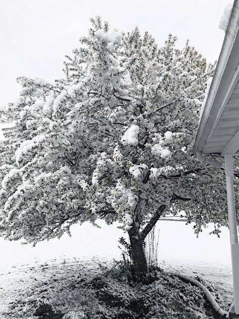 The white and partially pink blooms on this tree at 6437 S.R. 138, just west of Hillsboro, are hidden by Wednesday's morning's snow. It was a record-setting curtain call for Old Man Winter, with a late April storm dumping nearly 4.5 inches of snow in parts of the region. Wilmington National Weather Service Staff Meteorologist Brian Coniglio told The Times-Gazette that the Cincinnati-Northern Kentucky International Airport recorded 2.3 inches of snowfall for a new record total for this late in the season, breaking the record of 1.5 inches set in 1901. He said the Clinton County Airport recorded 4.5 inches Wednesday and the weather service office measured 4 inches. Weather bureau statistics list the latest snowfall on record for this region as being May 9, 1923. Milder weather will return for the weekend along with rain in the forecast for Saturday, Coniglio said, with near summertime temperatures making a return for early next week with highs expected to reach the mid to upper 70s by Tuesday.