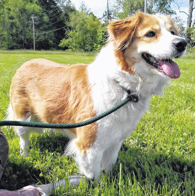 This lovely girl with luxurious ginger fur is Peaches, the Highland County Dog Pound Pet of the Week. Surrendered by an owner who could no longer care for her, Peaches is 6 years old, house-trained and gets along with other dogs. She's a little shy at first, but warms up quickly. Not too tall, and at 44 pounds not too small, she is just the right size and temperament for family living. To meet Peaches, make an appointment with the Highland County Dog Pound by calling 937-393-8191.