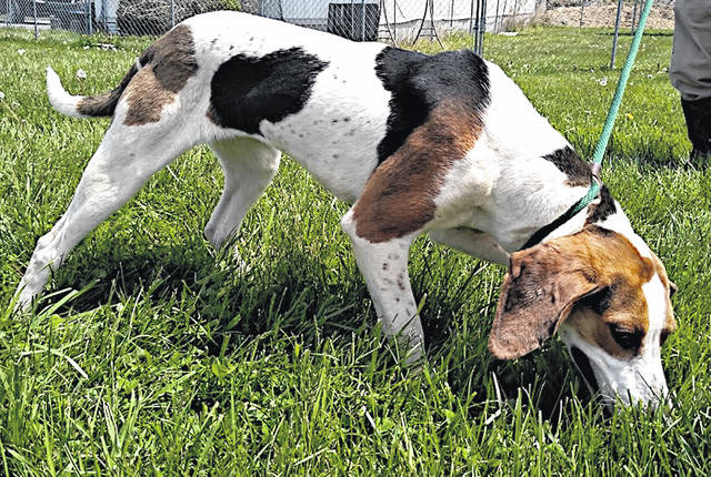 This friendly, tall, young beauty is Ella, the Highland County Dog Pound Pet of the Week. A tri-colored hound mix with surprisingly soft fur and elegant, long legs, she is about a year old and weighs 41 pounds. True to her hound-dog heritage, Ella has boundless energy and likes to keep her nose to the ground. Still, she enjoys attention and is ready to play. To meet Ella, call the Highland County Dog Pound at 937-393-8191 to make an appointment.