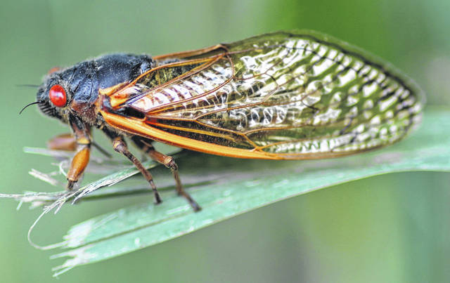 A mature cicada is shown is this picture from Ohio State University.
