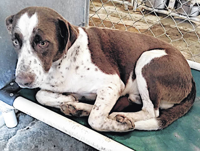 This beautiful boy is Angus, the Highland County Dog Pound Pet of the Week. Angus is calm, quiet and about as sad as a dog can be. He's a sturdy, good-sized, well-mannered mix, 53 pounds and about 4 years old. Too dispirited to make a sound or any fuss, Angus curls up in confinement without even a sigh. Either lost or abandoned, he was found as a stray. He needs a family, sunshine and some hope. To meet Angus, make an appointment with the Highland County Dog Pound by calling 937-393-8191.