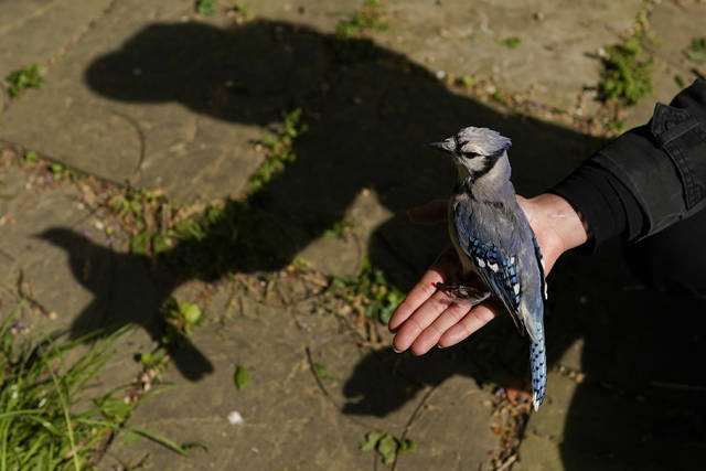FILE - In this Saturday, April 24, 2021 file photo, a university graduate student holds a female blue jay in her open hand to release it in Silver Spring, Md., after removing it from a mist net used to capture birds for banding or other research projects. A mysterious ailment has sickened and killed thousands of songbirds in several mid-Atlantic states since late spring 2021. (AP Photo/Carolyn Kaster, File)