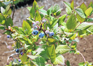 Beautiful and tasty blueberries