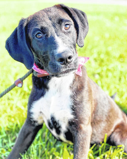 Bullet is a young, happy, friendly female available at the Highland County Dog Pound.