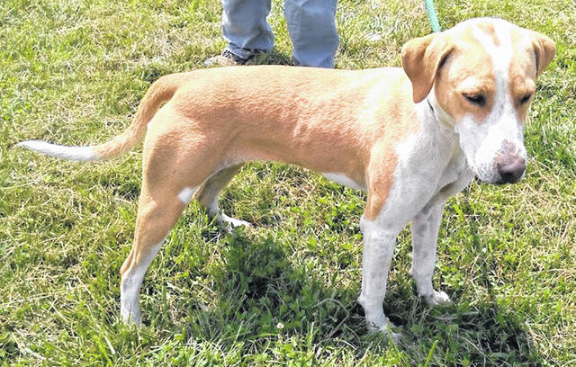 This sweet young girl is Callie, a gold and white mix who loves people, loves attention is ready to play or snuggle and is the Highland County Dog Pound Pet of the Week. She wants to make friends with everyone. She's still a little unclear about the leash thing, but willing to give it a try. Callie weighs 35 pounds and is about a year old. She might have a little hound in her family tree, but she certainly has a big heart and a lot of love to give. To meet Callie, make an appointment with the Highland County Dog Pound by calling 937-393-8191.