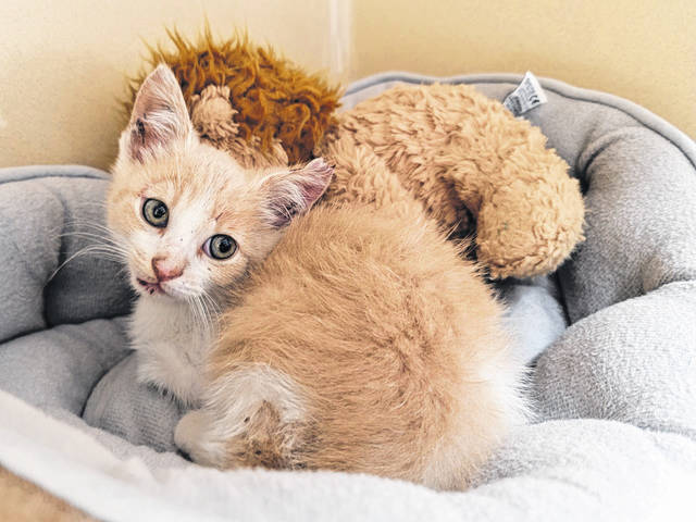 The witness who saw and reported the cruelty was a resident of Fayette County so the Fayette Regional Humane Society (FRHS) picked up the kitten and provided medical care.