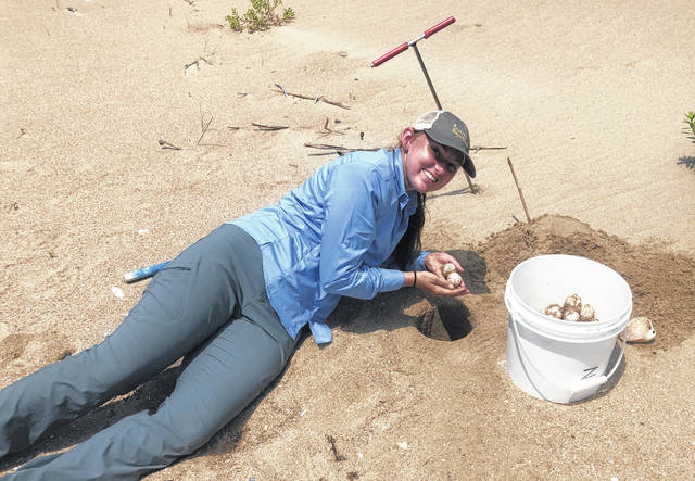 Heidi Edens is in the process of translocating a loggerhead turtle nest discovered in a dangerous location by carefully recovering the eggs.