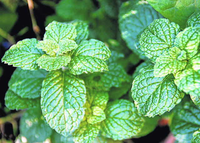 Fresh-from-the-garden mint is easy to grow and adds a cool, fresh flavor to meals, beverages and desserts.