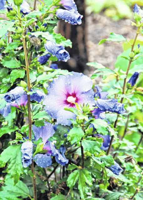 Include shrubs like this Blue Satin Rose of Sharon to add color and interest to the garden.