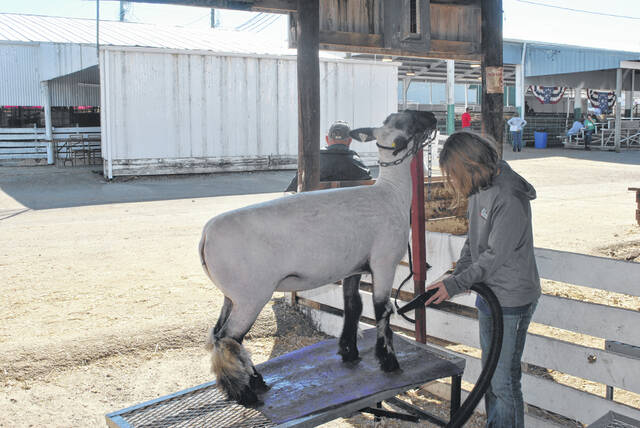 Mia Roehm, a 13-year-old resident of Hillsboro, cleans the fur on the legs of a goat.