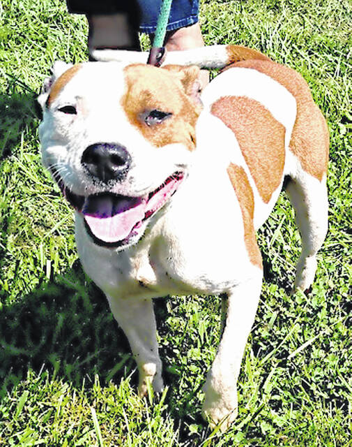 Mindy, a calm, even-tempered, good-natured girl, is the Highland County Dog Pound Pet of the Week. She weighs 41 pounds and is perhaps 3 years old. She has a sweet, open disposition and nothing seems to faze her — new people, her new situation, other dogs, or even sharing a kennel with a strange dog. She enjoys attention and probably has had a litter or two. Mindy is a great listener and is pretty good on a leash. To meet this chill girl, call the Highland County Dog Pound for an appointment at 937-393-8191.