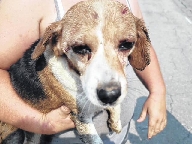 At approximately noon on Monday this beagle was rescued after being stuck in a drain pipe.