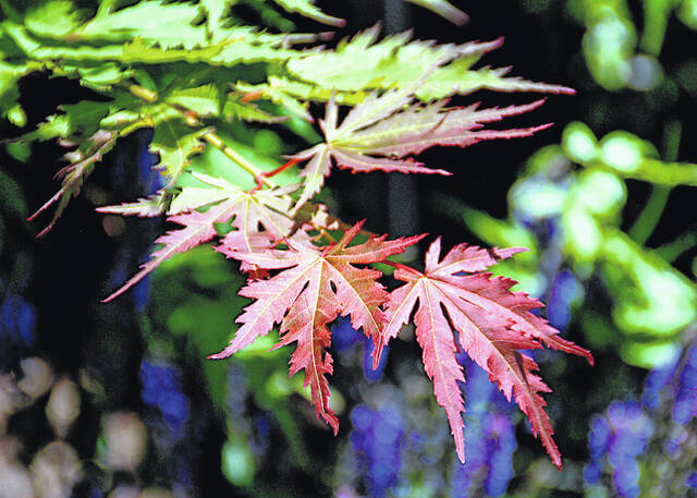 Each fall as the days shorten, deciduous shrubs and trees like this Arctic Jade Korean Maple begin their transformation as the plants produce less chlorophyll.