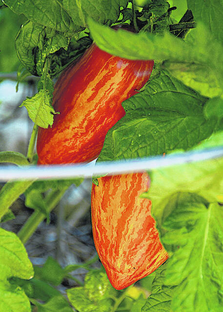 Saving heirloom seeds like this striped Roman paste tomato preserves both flavor and history.