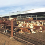 Cattle connection for Ohio, Israel