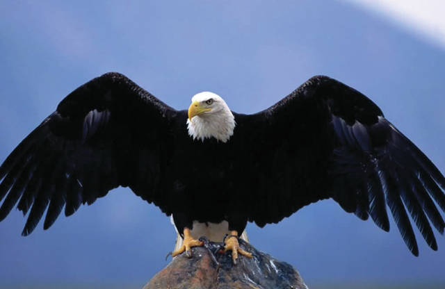 Numbers of bald eagles began to decline in the 1970's, but have steadily risen over the last five or ten years, according to Darke County Parks naturalist Robb Clifford.