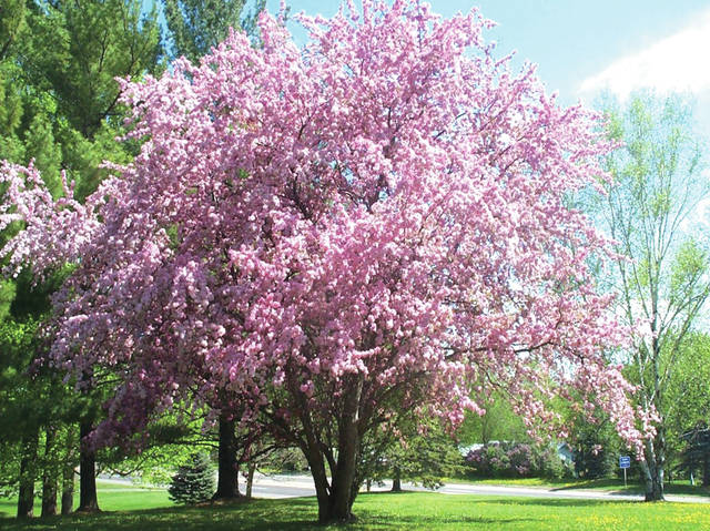 The City of Greenville Tree Commission will conduct a tree lottery this month, selecting up to 15 recipients to receive a tree and have it planted on their property, free of charge.
