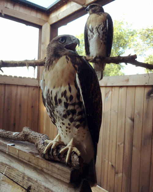 New animal ambassadors make their voices heard as they join the Darke County Parks' raptor education team.