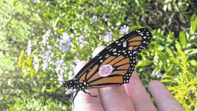 During Fall migration, monarch butterflies can travel up to 22 miles per day in daylight hours.