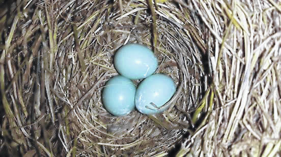 DCP is offering a Bluebird Box kit to assemble at home. A well-built and well-placed blue-bird nest box in a backyard can help boost local populations.