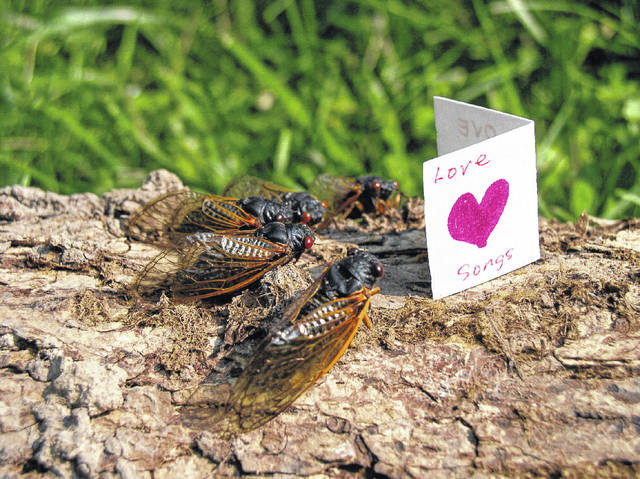 Brood X, 17-year periodical black and orange cicadas, will emerge when the soil at four inches depth reaches approximately 64 degrees, usually after a nice warm rain. While they may be noisy, cicadas are beneficial, pruning mature trees and aerating the soil.