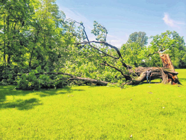 """Storm conditions and wind were factors surrounding the June 3 loss of a 300-year-old bur oak tree, located at Prairie Ridge Meadow in Greenville. Mill apprentice, Thom Hammaker, who stands 6' 1"""" tall, poses near the tree."""
