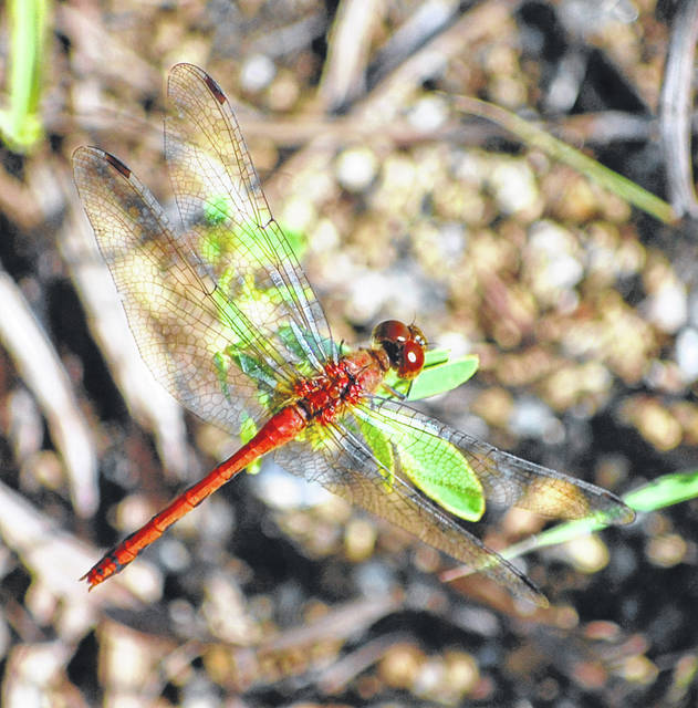 Explore the world of dragonflies while tagging along with naturalist Jim Lemon, Southwest Coordinator of the Ohio Dragonfly Survey, at the Shawnee Prairie Preserve on Saturday, July 10, at 1 p.m.