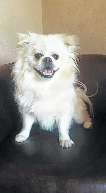 "Bender, a Prince Charming of a fellow, is a 1-year-old Pekingese/Pomeranian looking for a home! Bender is such a sweet and handsome guy. He gets along great with other dogs, cats and even children. He loves to play and also relax. Bender is everything you could ask for in a dog. Bender will be fixed, up to date on vaccinations, heart-worm tested, on flea and heart-worm preventative, routine blood work, groomed, free 30 days of insurance and ready for his new home. To adopt Bender or any of our other furry friends looking for homes please visit www.sassrescue.com and complete an application. Come meet Bender and a few of his friends at Bow to Wow Grooming Shop, 415 S. Main St. in Urbana on Saturdays from noon to 4 p.m. Let SASS Rescue help you find your perfect ""Puppy Love Match."" SASS Rescue is a 501 c3 Non Profit run strictly on donations and volunteers. We have no paid employees and we are always looking for volunteers. If you would like to help save the life of a shelter dog please contact SASS Rescue, 937-303-SASS (7277) or email adopt@sassrescue.com; you can also find us on Facebook SASS Shih Tzu Rescue and Instagram @sassrescue"