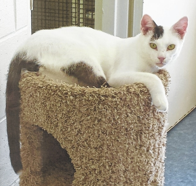 Target is a sweet, young boy with distinctive black and white markings. I was told he is an Oriental Shorthair cat. He has many of the same characteristics of the Siamese cat. He is a long and lean kitty with an outgoing personality. This fellow is a cuddler and likes attention. He is a smart and friendly cat who has a wonderful disposition. Target is as handsome as he can be and it will only take a moment upon meeting him to fall in love. He would like to find his happy forever home with you. Target enjoys playing with toys or the other shelter cats. He likes to carry a toy as he follows you around. He is up to date on his shots and is neutered. He has been wormed and he tested negative for feline leukemia. Target is litter box trained. Come meet this very special boy today. Target is waiting for you! Stop by Paws Animal Shelter located at 1535 West US Highway 36, Urbana, Ohio 43078 or call Paws Animal Shelter at 937-653-6233. The Shelter hours are Tuesday-Friday 12-5 p.m., Saturday 12-4 p.m., Sunday and Monday-closed. There are many wonderful cats, adorable kittens and fun-loving dogs at the shelter waiting for good homes. Paws Animal Shelter has a lot of kittens and cats to feed and is in need donations of Purina Kitten Chow and Purina Complete Cat Chow. Currently we have enough Purina dog chow thanks to generous food donations. We also could use donations of bleach, laundry detergent and clumping cat litter. Paws Animal Shelter is a no kill shelter. We are a nonprofit organization that operates only by donations. We do not receive any city, county or state funding. We depend on public donations and our adoption fees to run the shelter. Please consider making a donation to help fund our shelter. We are always looking for volunteers to come to the shelter and help out. You could play with the cats or dogs to help socialize them. There are many small jobs that a volunteer could do. We also need volunteers to foster cats, kittens, dogs or puppies.
