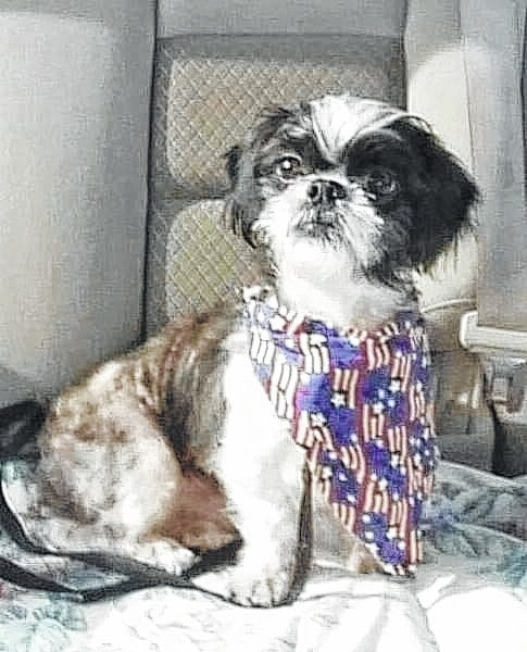 """Lincoln is a 3- to 4-year-old shihtzu looking for a home. Lincoln loves to play with you and other dogs. He isn't a big fan of cats. He gets along great with other dogs. He loves dog beds and to run in the back yard. Lincoln would be best in a home with older kids (12+). Lincoln will be fixed, up to date on vaccinations, heart-worm tested, on flea and heart-worm preventative, routine blood work, groomed, free 30 days of insurance and ready for his new home. To adopt Lincoln or any of our other furry friends looking for homes please visit www.sassrescue.com and complete an application. Come meet Lincoln and a few of his friends at Bow to Wow Grooming Shop 415 S. Main St in Urbana on Saturdays from Noon until 4:00pm. Let SASS Rescue help you find your perfect """"Puppy Love Match."""" SASS Rescue is a 501 c3 Non Profit run strictly on donations and volunteers. We have no paid employees and we are always looking for volunteers. If you would like to help save the life of a shelter dog please contact SASS Rescue 937-303-SASS (7277) or email adopt@sassrescue.com, you can also find us on Facebook SASS Shih Tzu Rescue and Instagram @sassrescue."""