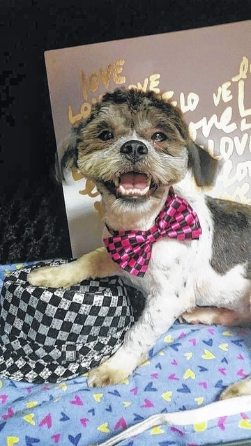 "Champion Lover Lorenzo is a 1- to 2-year-old Lhasa Apso. He is a very playful and interactive guy! He loves to be involved in things and would make a great family pet for a family with kids. He gets along great with other dogs and even cats. He is gentle and even has his time when he is ready to just be a lover. Lorenzo will be fixed, up to date on vaccinations, heart-worm tested, on flea and heart-worm preventative, routine blood work, groomed, free 30 days of insurance and ready for his new home. To adopt Lorenzo or any of our other furry friends looking for homes please visit www.sassrescue.com and complete an application. Come meet Lorenzo and a few of his friends at Bow to Wow Grooming Shop 415 S. Main St in Urbana on Saturdays from Noon until 4:00pm. Let SASS Rescue help you find your perfect ""Puppy Love Match."" SASS Rescue is a 501 c3 Non Profit run strictly on donations and volunteers. We have no paid employees and we are always looking for volunteers. If you would like to help save the life of a shelter dog please contact SASS Rescue 937-303-SASS (7277) or email adopt@sassrescue.com, you can also find us on Facebook SASS Shih Tzu Rescue and Instagram @sassrescue"
