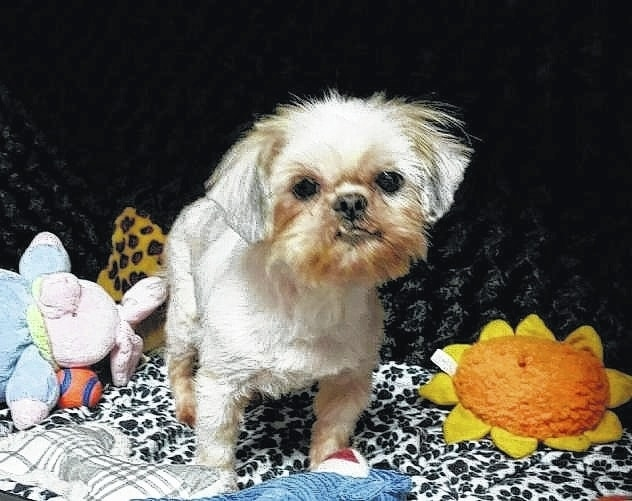 "Meet Gigi, an adult Shih-Tzu. She has spent a couple years in a puppy-mill and never knew what human contact was like or even what a loving hand felt like. She is now learning what life is all about and slowly learning to trust. She is learning that it is nice to be loved on and held. She loves to play with the other dogs, and cats don't even bother her. She is very well socialized and likes to be held. Gigi will be fixed, up to date on vaccinations, heart-worm tested, on flea and heart-worm preventative, routine blood work, groomed, free 30 days of insurance and ready for her new home. To adopt Gigi or any of our other furry friends looking for homes please visit www.sassrescue.com and complete an application. Come meet Gigi and a few of her friends at Bow to Wow Grooming Shop, 415 S. Main St. in Urbana, on Saturdays from noon until 4 p.m. Let SASS Rescue help you find your perfect ""Puppy Love Match."" SASS Rescue is a 501 c3 Non Profit run strictly on donations and volunteers. We have no paid employees and we are always looking for volunteers. If you would like to help save the life of a shelter dog please contact SASS Rescue 937-303-SASS (7277) or email adopt@sassrescue.com. You can also find us on Facebook SASS Shih Tzu Rescue and Instagram @sassrescue"