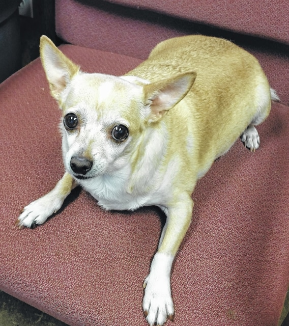 Hi! My name is Vienna. I am a little chihuahua girl. I know what you're thinking - the name fits. I am a pretty round girl and very friendly. I shake a little when I first meet people, but that goes away. I am adjusting to my new place here at Barely Used Pets, but I would love to be at home on the sofa with you. I'll need some of those little steps to help me get up that high because my legs are really short. I have already been spayed and I have my vaccines, so I'm ready to find my new forever home. Once I know you're alright, I roll right over and ask for my belly to be rubbed. OK, here are the things a woman never tells, but I am going to put it in the newspaper. I am estimated to be about 7 years old and I weigh 14.8 lbs. And for the record, like the little Bella girl who just left here and got her forever home: I am not fat…I am just fluffy. Please won't you open your heart and your home for me? I am a big love bug. Please visit our website. www.barelyusedpets.com. Also, like us on Facebook. Barely Used Pets is located at 2790 E. US Highway 36 in Urbana, Ohio. You can give us a call at 937-869-8090. We are open Sunday 1-4 pm, Wednesdays and Thursdays 10am-6pm, Fridays 10am - 5pm, and other days by appointment. We would like to have an in-house clinic to perform all of our surgeries and health checks. We are hoping to provide low cost services to the public as well in the future. Any donations to purchase our medical equipment would be so appreciated. Please take a look at our website for other ideas for donations. Thanks so much for considering me and helping Barely Used Pets help me and my friends find our forever homes.