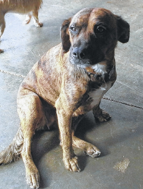 Hi! My name is Tigger. I am about 2 years old and I'm a beagle mix girl with a brindle colored coat. I weigh about 40 pounds. I have been spayed and am up-to-date on all of my vaccines. I had some puppies and my person couldn't keep me anymore, so now I am here at Barely Used Pets and I'm looking for my new forever home. I am very friendly and love to be rubbed and run and play. Won't you come out and see me? Thanks so much for considering me and helping Barely Used Pets help me and my friends find our forever homes! Please visit our website. www.barelyusedpets.com. Also, like us on Facebook at Barely Used Pets Rescue (be sure to put spaces between the words to get the correct Facebook page). We are now moved into our new location and we are so excited to have you stop out. Our new address is 844 Jackson Hill Road in Urbana. You can give us a call at 937-869-8090. We are open Sunday 1-4pm, Wednesdays and Thursdays 10am-6pm, Fridays 10am - 5pm, and other days by appointment. We would like to have an in-house clinic to perform all of our surgeries and health checks. We are hoping to provide low cost services to the public as well in the future. Any donations to purchase our medical equipment would be appreciated. Please take a look at our website for other ideas for donations.