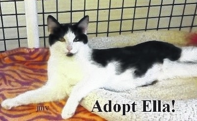 Ella is definitely the cat's meow! Her black and white markings are adorable. She is a sweet young cat who would be a real treat to own. Pretty Ella is a quiet girl who is looking for her forever home. She would be the ideal companion for those chilly fall nights, curled up on the couch beside you. She is playful, curious and affectionate. Ella is up to date on her shots and spayed. She has been wormed and she tested negative for feline leukemia. Ella is litter box trained. She likes people and other cats. Consider adopting this cute girl and she will be your best friend for life. Come visit her at the Paws Animal Shelter, 1535 West US Highway 36, Urbana. You can also check us out on Facebook at www.facebook.com/paws.urbana. Our hours are noon to 5 p.m. Tuesday through Friday. Saturday noon to 4 p.m., closed Sunday and Monday. Phone 937-653-6233.