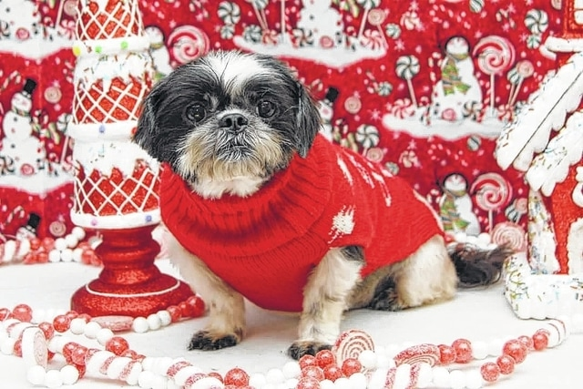 "It's Sweater Weather, says Sweater, an 8-year-old Shih-Tzu who is a very sweet little girl. Sweater is very quiet and calm however she does still enjoy playing . She would be very happy just cuddling up on your lap. Sweater is doing very well on her house training. She is great with other dogs and cats. If you are looking for a very lovable calm fur baby, Sweater is the one for you! Sweater will be fixed, up to date on vaccinations, heart-worm tested, will have routine blood work done, on flea and heart-worm preventative, and groomed. To adopt Sweater or any of our other furry friends looking for homes please visit www.sassrescue.com and complete an application. Come meet Sweater and a few of her friends at Bow to Wow Grooming Shop, 415 S. Main St. in Urbana on Saturdays from noon to 4 p.m. Let SASS Rescue help you find your perfect ""Puppy Love Match."" SASS Rescue is a 501 c3 nonprofit run strictly on donations and volunteers. We have no paid employees and we are always looking for volunteers. If you would like to help save the life of a shelter dog please contact SASS Rescue, 937-303-SASS (7277) or email adopt@sassrescue.com. You can also find us on Facebook SASS Shih Tzu Rescue and Instagram @sassrescue"