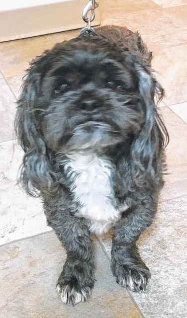 Hi! My name is Baxter. I am a gentle boy, 8 years old. I am a Shih Tzu and I love kids. I don't weigh too much, about 22 pounds. I am a great couch potato. I know being 8 years old might sound like I'm too old for you, but I'm not. If you love couch potato dogs, I am your boy. I will give you lots of loving and let the kids pet me all the time. Won't you please come out and see me? I'm kind of shy in here with all of the others talking so much, and I really want to get back in a home with a family who spoils me and lets me watch football with them. Please visit our website. www.barelyusedpets.com. Also, like us on Facebook at Barely Used Pets Rescue (put spaces between the words). Barely Used Pets is at our new location of 844 Jackson Hill Road in Urbana. You can give us a call at 937-869-8090. We are open Sunday 1-4pm, Wednesdays and Thursdays 10am-6pm, Fridays 10am - 5pm, and other days by appointment. We can always use donations and they are all of those basic supplies that we use so quickly. We need paper towels, Clorox, Dawn dish soap (original), and laundry soap. We can also use the elevated pet beds by Kuranda (go to kuranda.com). Any donations are always appreciated. Please take a look at our website for other ideas for donations. Thanks so much for considering me and helping Barely Used Pets help me and my friends find our forever homes.