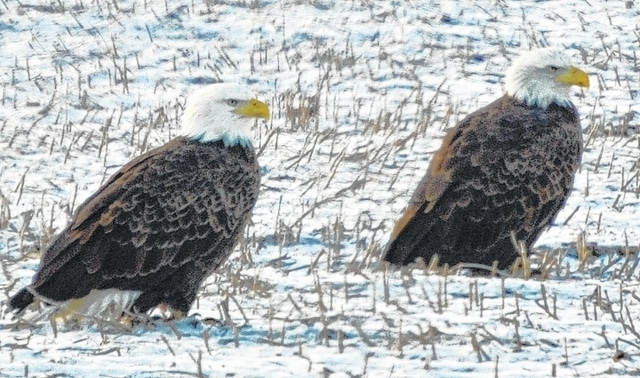 This pair of bald eagles has been sighted in the DeGraff area in recent days. Bald eagle sightings in Logan County have become more common in the past several years as the majestic birds continue to expand their breeding and feeding ranges throughout Ohio.